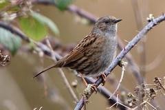 Dunnock (Andy_Hartley) Tags: uk england bird nature birds animals europe wildlife warwickshire brandonmarsh canon450d sigma150500
