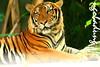 IMG_8203 (mr.ngobadung) Tags: tiger hổ