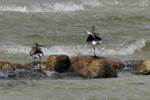 willets sychronized takeoff