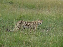 DSCF4072 (thedoubler_pics) Tags: africa kenya safari lions elephants hippos cheetahs wildebeest masaimara antelopes