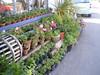Lisard geraniums (Caroline Harrison) Tags: cornwall