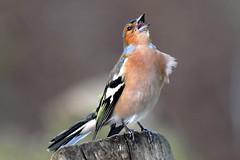 Buchfink (Michael Döring) Tags: zoo bismarck gelsenkirchen d300 buchfink zoomerlebniswelt afs70200 michaeldöring thewonderfulworldofbirds