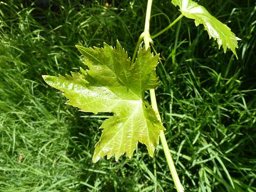 fulla de vinya - P1000927