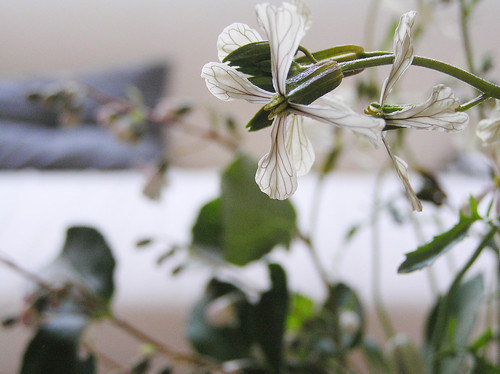 Ruccola flowers IV