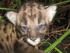 Florida Panther-FP170den (FWC Research) Tags: florida kittens research panther pumaconcolorcoryi