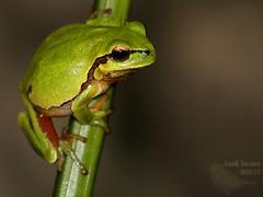 Rela - Hyla arborea - Common tree frog (Jose Sousa) Tags: portugal animal setubal hylaarborea greatnature rela commontreefrog aguasdemoura