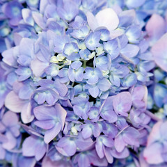CE149 Purple Hydrangea (listentoreason) Tags: plant flower color nature closeup purple favorites hydrangea floweringplant angiospermae dicot magnoliophyta magnoliopsida angiosperm ef28135mmf3556isusm score30 cornales eudicot eudicotyledon