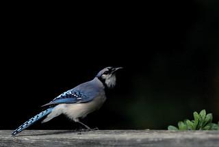 Blue Jay Portrait IV