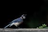 Blue Jay Portrait IV (dr ama) Tags: deleteme deleteme2 deleteme3 saveme4 saveme5 saveme6 saveme savedbythedeletemegroup saveme2 saveme3 saveme7 bluejay saveme10 saveme8 saveme9