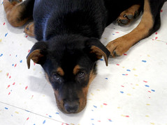 Adoption Site puppy Isadora @ 4 months (Immature Animals) Tags: arizona rescue dog baby cute animal puppy tucson foster bark adoption neuter spay koalition