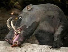 Babirusa Eating Chocolate (cowyeow) Tags: pet cute strange smile indonesia zoo pig weird funny chocolate horns evil sulawesi manado satanic funnyanimal babirusa tongkoko naemundung