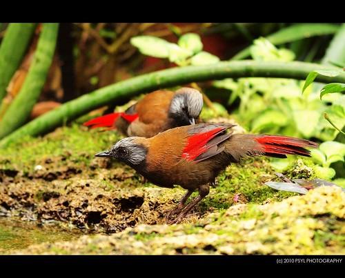 Red-winged Laughingthrush (Garrulax formosus)