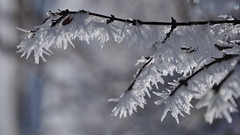 Winter Past (StephenZacharias) Tags: canada winnipeg hoarfrost manitoba twig 169 top25 64702 bonnycastlepark photovotr jmg2010 stephenzacharias