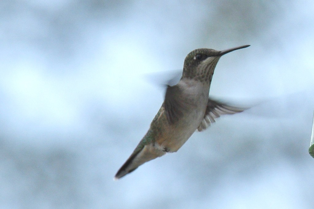 Ruby-throated hummingbird - Copy