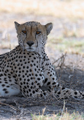 Cheetah #1, Central Kalahari Game Reserve, Botswana
