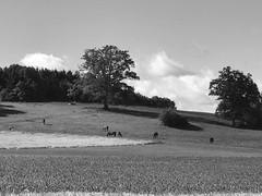 MTBTour über die schwäbische Alb zur Donau (Blende2,8) Tags: iphone badenwürttemberg deutschland schwarzweis wolken himmel schwäbischealb vieh rinder felder wiesen bäume