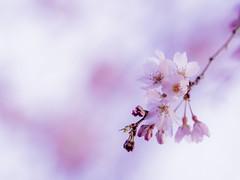 SAKURA (hixar) Tags: 桜 sakura pink ピンク spring 春 japan 日本 cherry blossoms cherryblossoms