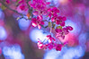 love for bokeh (Eggii) Tags: m42 helios flowers spring colours pink manual lens m42helios44258mmf2 442 58mm f2 iful gorgeous bokeh an