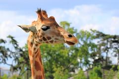 Girafe... (Gwaldel PASQUET) Tags: giraffe girafe animal animaux wildlife nature zoo paris vincennes afrique canon canon70d