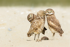 Burrowing Owls (just4memike) Tags: wildlife blurredbackground burrowing eye feather owl owlet owls raptor talon wing canon ef 500 f40 l is ii