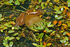 It Isn't Easy Being Green (redhorse5.0) Tags: frog bullfrog amphibian nature water plants waterplants greenfrog redhorse50 sonya850 reptile animal
