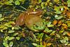 It Isn't Easy Being Green (redhorse5.0) Tags: frog bullfrog amphibian nature water plants waterplants greenfrog redhorse50 sonya850 reptile animal
