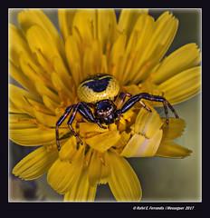 Synema globosum Racó de l'Olla, València, l'Horta, Spain) (Rafel Ferrandis) Tags: aranya groc insecte flor macro racóolla ef100mmlmacro eos70d macrotwinlitemt24ex