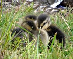 Ducklings (stuartcroy) Tags: orkney island scotland duck duckling ducks cute