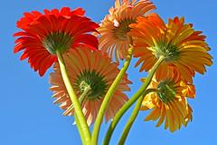 Gerbera flowers (misi212) Tags: gerbera flowers blue sky