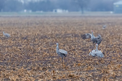 Sandhill Cranes at the Platte River Migration Stop in Nebraska (Lee Rentz) Tags: antigonecanadensis i80 interstate80 kearney midcontinentpopulation platteriver platterivervalley sandhillcrane sandhillcranes america animal behavior bird birdwatching birding corn cornfieldcornfields crane cranes crops dancing display eating farm feeding field fields flock flocking flyway food grain greatplains group jump jumping leap leaping many migration migratory nature nebraska northamerica outdoor population prairie spring stop stopover unitedstates usa vertical wildlife