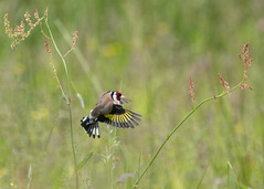 Goldfinch in flight (Margaret S.S) Tags: bird european goldfinch flight inflight