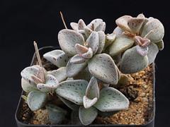 Lenophyllum guttatum, SB 1448, Los Imagines, Coahuila