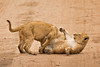 Lions of Maasai Kopjes 444 (Grete Howard) Tags: bestsafarioperator bestsafaricompany africa africansafari africanbush africananimals whichsafaricompany whichsafarioperator tanzania serengeti animals animalsofafrica animalphotos lions lioncubs maasaikopjes kopjes kopje