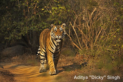 AS_000001377 (dickysingh) Tags: wild india outdoor wildlife tiger bigcat aditya ranthambore singh ranthambhore dicky naimal adityasingh ranthamborebagh theranthambhorebagh wwwranthambhorecom