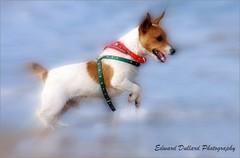 JUMPIN' JACK (Edward Dullard Photography. Kilkenny, Ireland.) Tags: ireland sea dog pet jack jackrussell wexford k9 curracloe edwarddullard kilkennyphotographicsociety