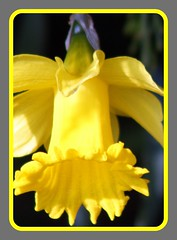 Yellow Beauty! (Patricia Speck) Tags: flower yellow wales emblem petals drum petal national frame daffodil welsh tricia patricia speck