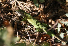 ramarro (sonny.86) Tags: parco nature natura bosco lucertola musin ramarro rettile