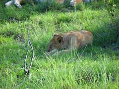 Lion (Sparky the Neon Cat) Tags: africa park animal kenya lion reserve national mara masai maasai