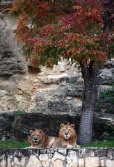 San Antonio Zoo, TX (KellyKamikaze) Tags: red tree sanantonio zoo feline lions bigcats captivity sanantoniozoo pantheraleo
