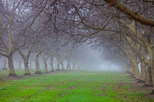 Walnut Orchard in the Fog