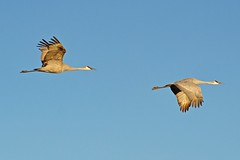 Fly Away Home IV (bytegirl24) Tags: newmexico birds cranes migratory sandhillcranes laddsgordon bernardostatewaterfowlarea