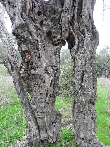 Yodfat 90 - olive grove