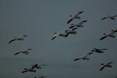 68EV0146 (sgbaughn) Tags: geese goose snowgeese snowgoose