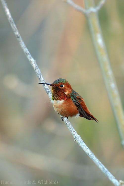 Allen's Hummingbird 01101-100