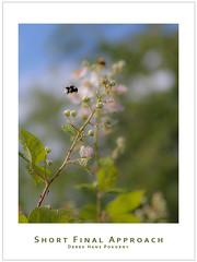 Short Final Approach (Derek Hans Pokorny Photography) Tags: flower macro animal inflight bee approach shortfinal