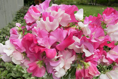 "Sweet Peas, Bouquet, ""Cheri Amour"" by reneesgarden"