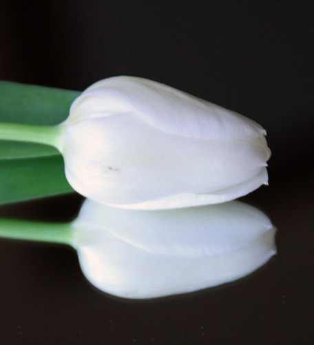 White Tulip Reflected