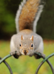 Gimmee Nuts! (richard.heeks) Tags: london nose 50mm grey nikon squirrel energy bokeh f14 nuts peanuts sharp soil richard stjamespark hungry f2 nikkor whitehall tame afs needy vitality heeks