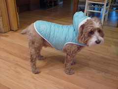 Harvey the Cockapoo ~ Posing with his New Puffy Coat with Hood (Angie Naron) Tags: dog canine mansbestfriend cockapoo spoodle womansbestfriend dressedupdogs caninecouture angienaron harveythecockapoo photobyangienaron