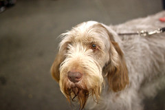 Golden Gate Kennel Club Dog Show: Spinone Italiano